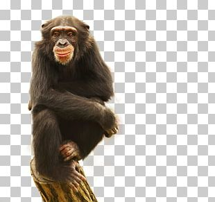 Common Chimpanzee Gorilla Monkey Blessed PNG