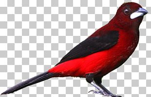 Bird Drawing Northern Cardinal PNG