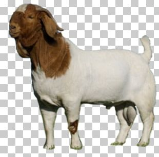 Boer Goat Cattle Caprinae Livestock Dog PNG