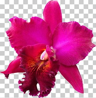 Crimson Cattleya Christmas Orchid Orchids Stock Photography PNG