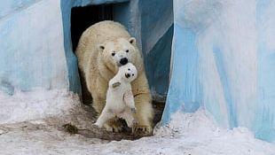 Polar Bear Wild Animals And Their Babies Animal Parenting Wild Babies PNG