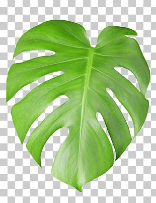 Swiss Cheese Plant Stock Photography Leaf PNG