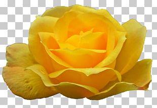 Garden Roses Portable Network Graphics Austrian Briar PNG