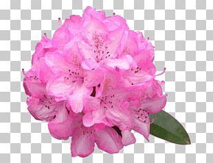 Azalea Pink Flowers Rhododendron Macrophyllum PNG