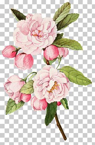 Cabbage Rose Garden Roses Botanical Illustration Botany PNG