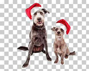 Dog Breed Puppy Pit Bull Santa Claus Stock Photography PNG