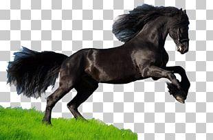 Mustang Thoroughbred American Quarter Horse Arabian Horse American Paint Horse PNG