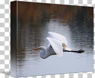 Cygnini Egret Beak Feather PNG