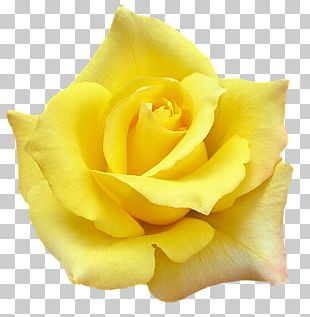 White Rose Of York Quotation Yellow Desktop PNG