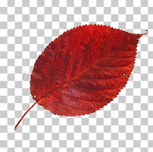 Cherry Leaf Spot Red Autumn Leaves Blue PNG