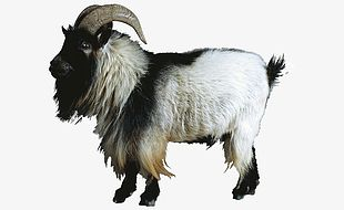 Goat Animal PNG
