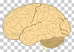 Lobes Of The Brain Parietal Lobe Temporal Lobe Frontal Lobe PNG