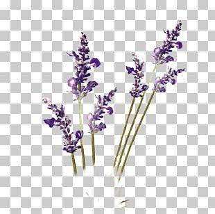 Purple Lavender PNG