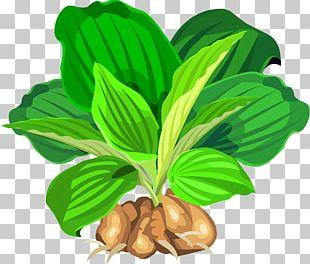Leaf Vegetable Natural Foods Tree Fruit PNG