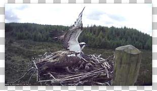 Bird Of Prey Beak Eagle Fauna PNG