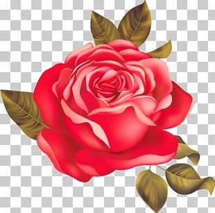 Garden Roses Centifolia Roses Beach Rose Red PNG