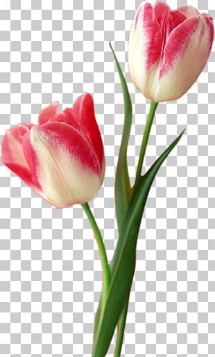 Tulip Flower Computer File PNG