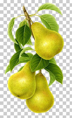 Asian Pear Pyrus Nivalis Fruit PNG