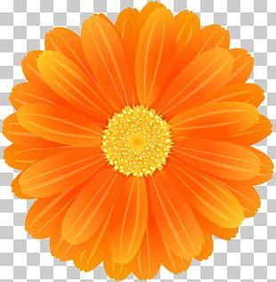 Transvaal Daisy Flower Desktop Orange PNG