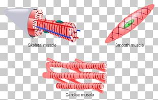 Muscle Tissue Skeletal Muscle Cardiac Muscle PNG