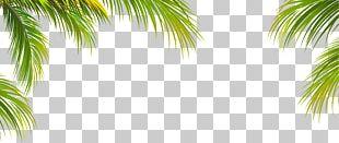 Leaf Coconut Arecaceae Tree PNG