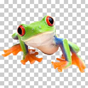 Red-eyed Tree Frog Edible Frog Stock Photography PNG