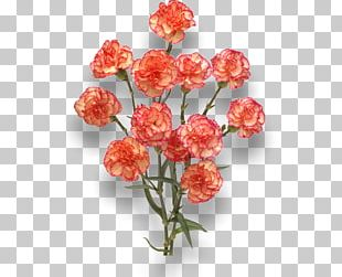 Carnation Cut Flowers Orange Red PNG