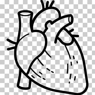Anatomy Heart Computer Icons Organ Human Body PNG