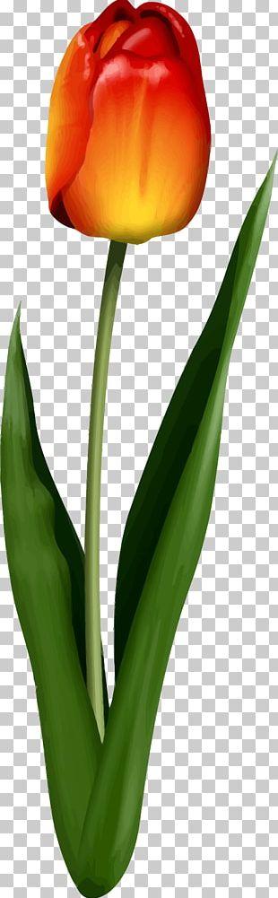 Tulip Flower Leaf Petal Plant Stem PNG