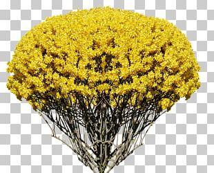 Shrub Garden Forsythia Giraldiana Forsythia Koreana Cut Flowers PNG