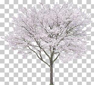 Tree Eastern White Pine Rendering PNG