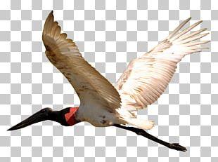 Bird Jabiru Pantanal Beak Wing PNG
