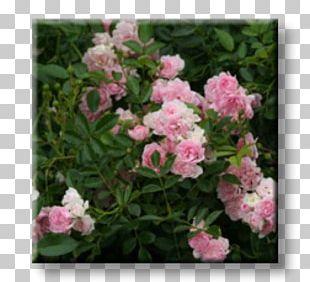 Floribunda Rose Shrub Garden Plant PNG