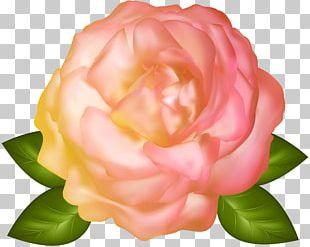 Garden Roses Flower Centifolia Roses Floristry PNG