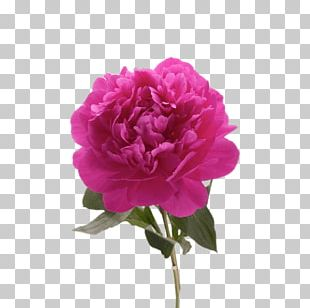 Garden Roses Peony Portable Network Graphics Drawing PNG