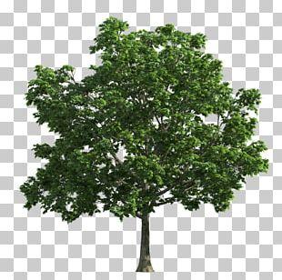 Tree Oak Deciduous PNG