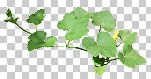 Cucumber Leaf Drawing Flower PNG