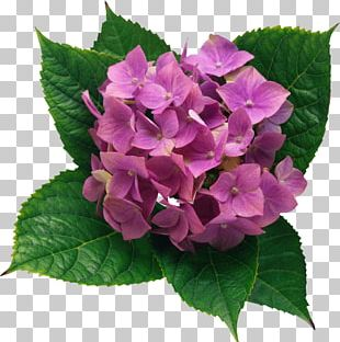 French Hydrangea Flower Color PNG