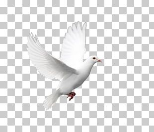 Domestic Pigeon Columbidae Doves As Symbols Holy Spirit PNG