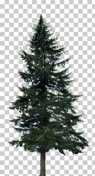 Western Yellow Pine Tree PNG