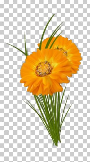 Transvaal Daisy Cut Flowers Floral Design Marigolds PNG