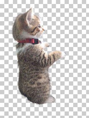 Kitten Cat Whiskers Kitten Cat Felidae PNG