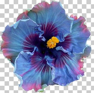 Shoeblackplant Perennial Plant Flower Seed Blue Hibiscus PNG