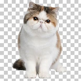 Exotic Shorthair British Shorthair Persian Cat American Shorthair Maine Coon PNG
