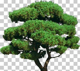 Tree Shrub Ornamental Plant Bonsai PNG