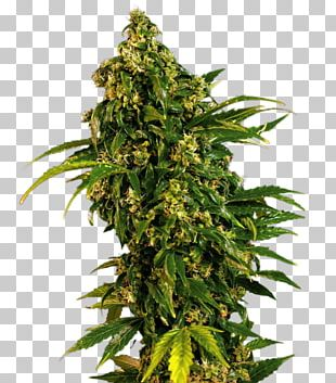 White Widow Marijuana Skunk Cannabis Sativa Seed PNG