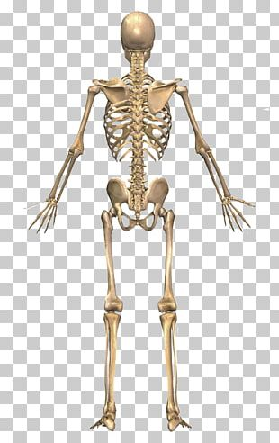 The Skeletal System Human Skeleton Human Back Human Body PNG