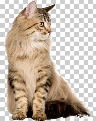 Persian Cat Maine Coon British Shorthair American Shorthair LaPerm PNG