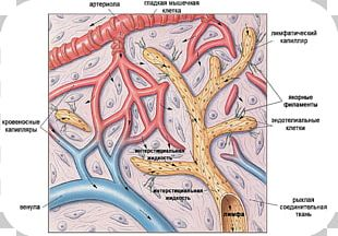 Lymph Capillary Lymphatic System Lymphatic Vessel PNG