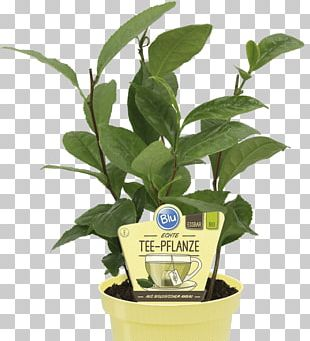 Green Tea Tea Plant Nilgiri Tea Earl Grey Tea PNG